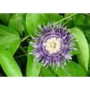 Męczennica (Passiflora Edulis) 150 nasion
