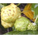 Noni - morwa indyjska (morinda citrifolia) sadzonka 3 letnia