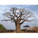Baobab afrykański (Adansonia Digitata) Duże sadzonki