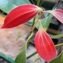 Cynamonowiec cejloński (Cinnamomum zeylanicum) sadzonki 2 letnie