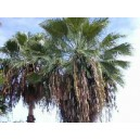 Palma Washingtonia Robusta - nasiona 50 szt