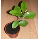 Cytryna (Citrus Limon) 2 letnie sadzonki